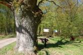 KARWOWO-dab-pomnikowy-2009-002